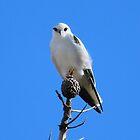 Black Shouldered Kite by Chris Kean