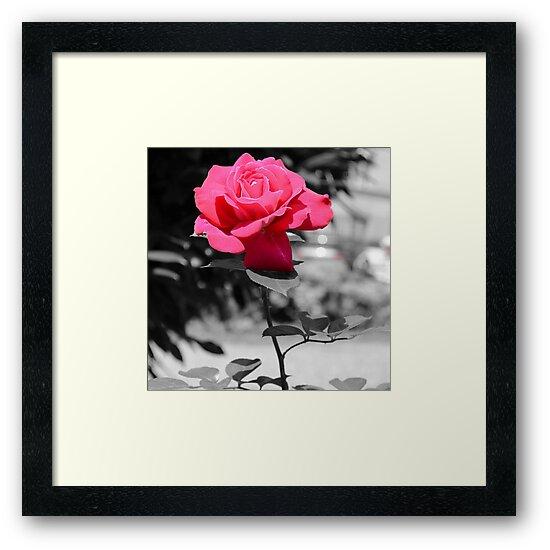 Pink Rose by Tamara Al Bahri