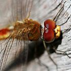 Red/Golden Dragonfly by cathywillett