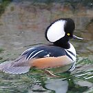 Hooded Merganser by Dennis Cheeseman