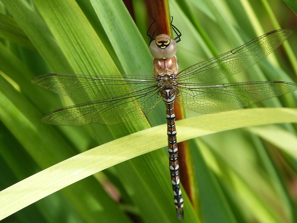 Resting Dragonfly by fruitbat111