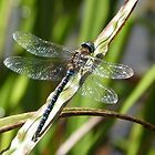 Sunbathing Dragonfly by fruitbat111
