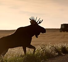 Prairie Moose by pictureguy