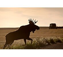 Prairie Moose Photographic Print