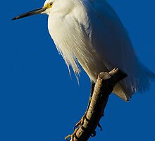 Snowy Egret by BGSPhoto
