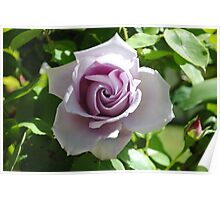 The Beauty of a Rose! Poster