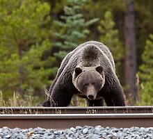 Wild Grizzly Bear near Lake Louise Alberta Canada by pictureguy