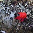 Maple On Birch by Debbie Oppermann