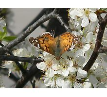Butterfly Drinks Photographic Print