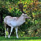 Deer by Jay  Goode