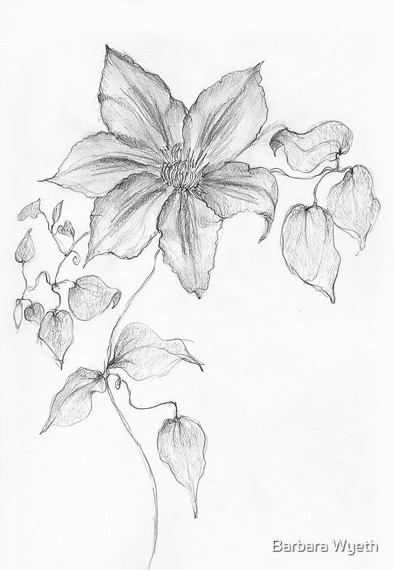 Clematis Sketch by Barbara Wyeth