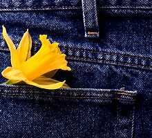Daffodil and Blue Jeans studio shot with lighting by pictureguy