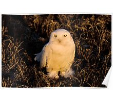 Snowy Owl at sunset sitting in prairie Poster