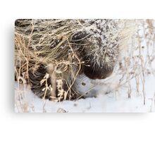 Porcupine in Winter Saskatchewan Canada snow and cold Metal Print