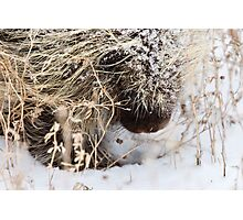 Porcupine in Winter Saskatchewan Canada snow and cold Photographic Print