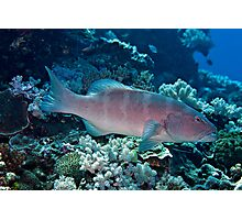 Leopard coral grouper (or coral trout) Photographic Print