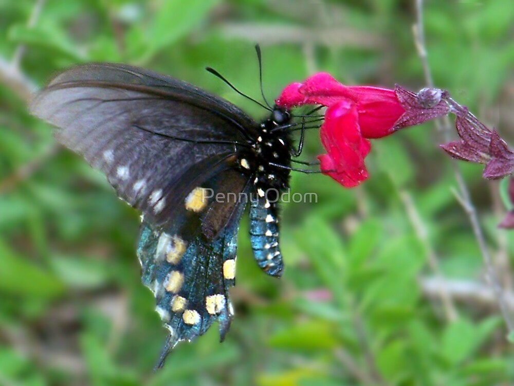 Pipetail Butterfly by Penny Odom