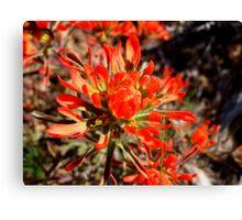 Orange desert wildflowers Canvas Print
