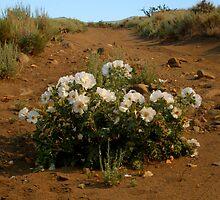 White wildflowers by Anthony & Nancy  Leake