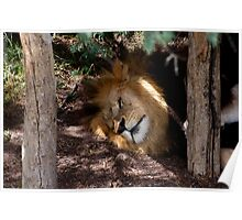Lion After Lunch Nap Poster