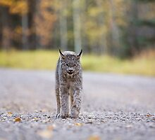Rocky Mountain Lynx Alberta Canada Close young by pictureguy
