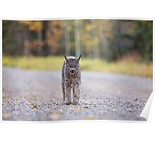 Rocky Mountain Lynx Alberta Canada Close young Poster
