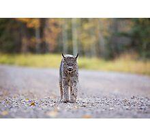 Rocky Mountain Lynx Alberta Canada Close young Photographic Print