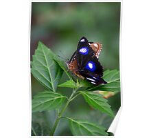Common Eggfly and Friend Poster