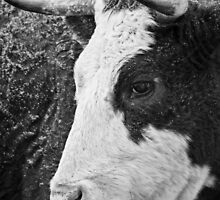 Cow in a Storm by Nazareth