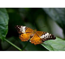 Orange Lacewing Photographic Print