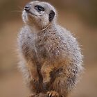 Meerkat on watch duty by fruitbat111