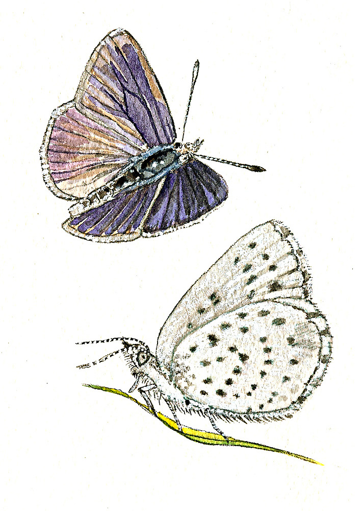 Blotched Dusky Blue Butterfly by thedrawingroom