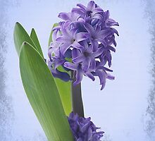 Hyacinth by Aase