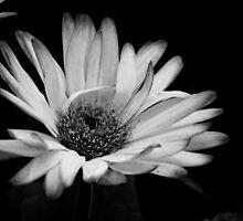 Cheerful Daisy by Kitrina Arbuckle