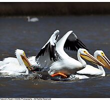 Flock of White Pelicans by Dennis Stewart