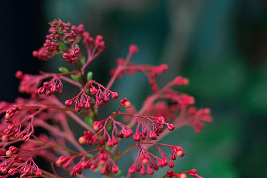 Red Flower Buds by Susan Tong