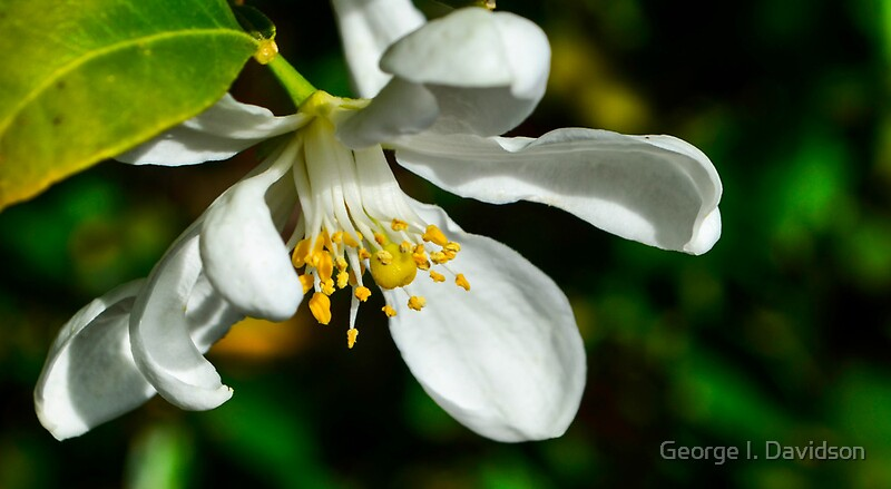 flat 800x800 070 f jpgOrange Blossom Tree