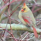 Female Northern Cardinal  by Nancy Barrett