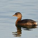 Pied-billed Grebe  by Nancy Barrett