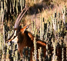 Roan Antelope - Hippotragus equinus - Bastergemsbok by Rina Greeff