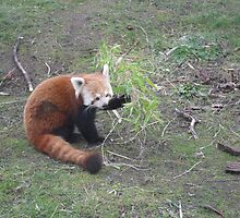 Om nom Red Panda by madeyemaddy