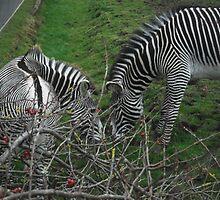 Lovely Zebra by madeyemaddy