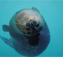 Curious Seal Swimming in the Blue by Kay1eigh