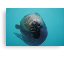Curious Seal Swimming in the Blue Canvas Print
