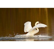 Swan Landing Photographic Print