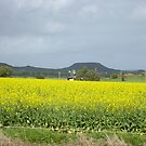 Fields Of Canola Plants - Geraldton WA by Rosaria