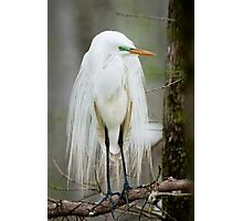 Great White Egret in Wedding Finery Photographic Print