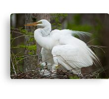 Mother Egret with Chicks in the Nest Canvas Print