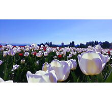 Tulip Field Photographic Print