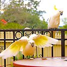 Cockatoos, Afternoon Tucker time. by johnrf